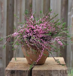 10x Besenheide Red Favorit - Calluna vulgaris