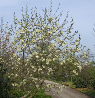 Magnolie Yellow River 80-100cm - Magnolia