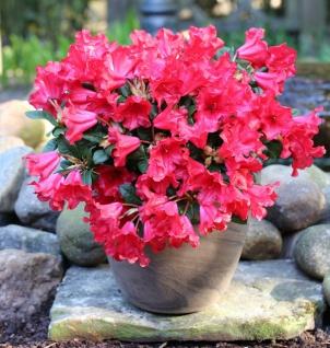 Zwerg Rhododendron Piepmatz 30-40cm - Rhododendron repens - Zwerg Alpenrose