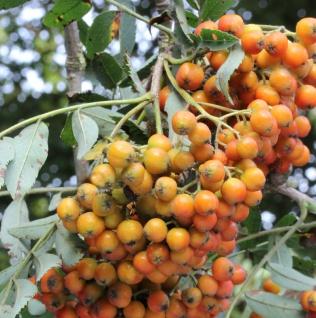Mährische Eberesche Autumn Spire® 100-125cm - Sorbus aucuparia