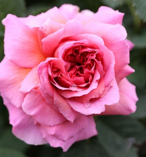 Hochstamm Rose Princess Alexandra of Kent 80-100cm
