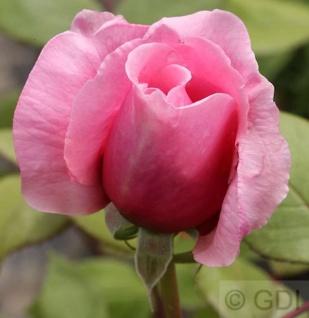Englische Rose Brother Cadfael® 30-60cm