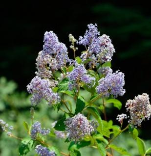 Säckelblume Blue Sensation® 40-60cm - Ceanothus impressus