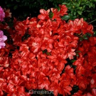 Japanische Azalee Mediante 30-40cm - Rhododendron obtusum - Zwerg Alpenrose