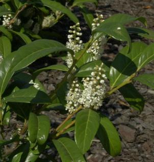 Großblättrige Lorbeerkirsche 125-150cm - Prunus laurocerasus