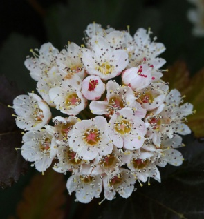 Schneeballblättrige Blasenspiere Andre 80-100cm - Physocarpus opulifolius