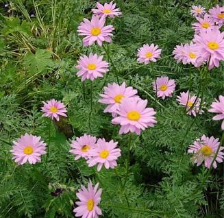 Bunte Magerite Robisons rosa - Tanacetum coccineum