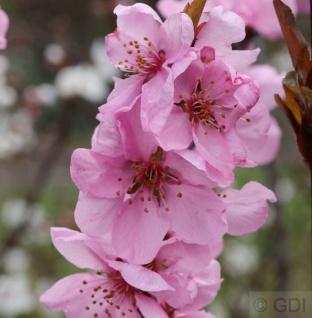 Hochstamm Zierpfirsich Spring Glow 100-125cm - Prunus persica