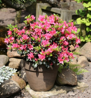 Japanische Azalee Drapa® 15-20cm - Rhododendron obtusum - Zwerg Alpenrose