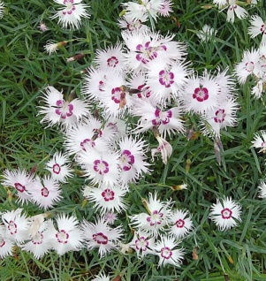 Fransen Nelke - Dianthus spiculiformis