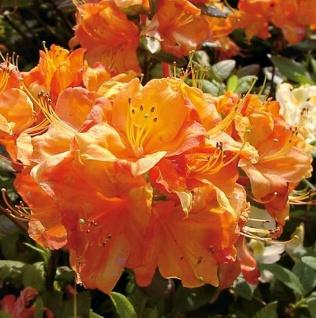 Rhododendron luteum Hochstamm Azalee Gibraltar 60-80cm Alpenrose
