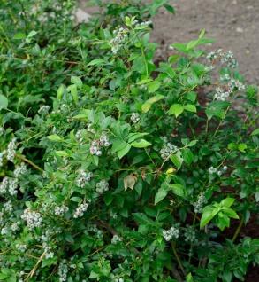 Heidelbeere Darrow 30-40cm - Vaccinium corymbosum