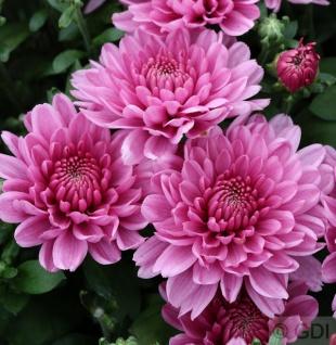 Winteraster Anastasia - Chrysanthemum hortorum