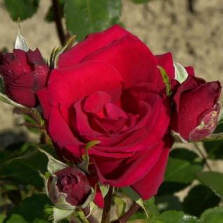 Englische Rose Charlotte 30-60cm