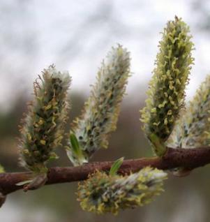 Korbweide 100-125cm - Salix viminalis