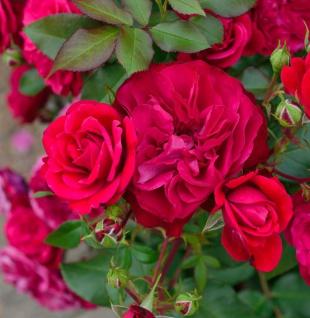 Hochstamm Rose Rouge Meilove 60-80cm