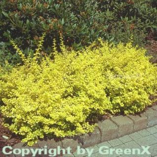 Gelbe Zwergbeberitze 20-25cm - Berberis thunbergii