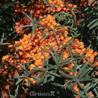 Sanddorn Friesdorfer Orange 60-80cm - Hippophae rhamnoides