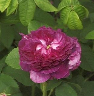 Historische Rose Boule de Nanteuil 30-60cm