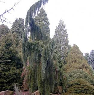 Überhängender Mammutbaum 125-150cm - Sequoiadendron giganteum