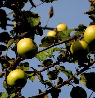 Apfelbaum Königsrenette 60-80cm - feinwürzig und edel