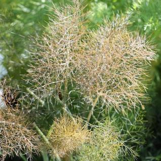 Bronze Fenchel - Foeniculum vulgare