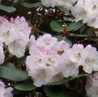 Indische Rhododendron Frisia 30-40cm - Rhododendron campanulatum