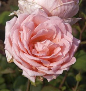Edelrose Desiree 30-60cm