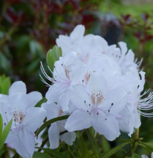 Rhododendron yunnanense 40-50cm