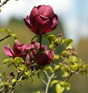 Magnolie Red as Red 100-125cm - Magnolia