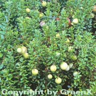10x Großfrüchtige Moosbeere Cranberry 10-15cm - Vaccinium macrocarpon - Vorschau
