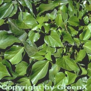 Kaukasischer Strauch Efeu 80-100cm - Hedera colchica Arborescens - Vorschau