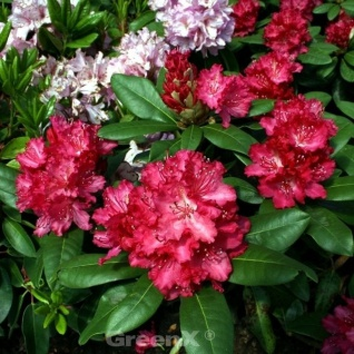 INKARHO - Großblumige Rhododendron Rosabella 30-40cm - Alpenrose