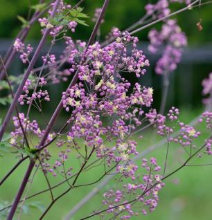 Prächtige Wiesenraute Elin - großer Topf - Thalictrum rochebrunianum