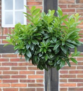Hochstamm Lorbeerkirsche Kleopatra® 80-100cm - Prunus laurocerasus
