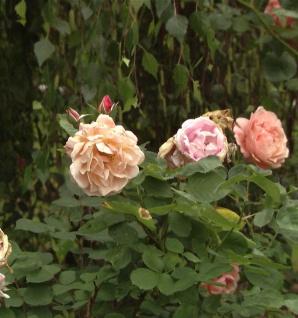 Hochstamm Rose Hansestadt Rostock® 80-100cm
