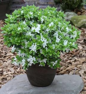 Japanische Azalee Diamant Weiß 30-40cm - Rhododendron obtusum - Zwerg Alpenrose