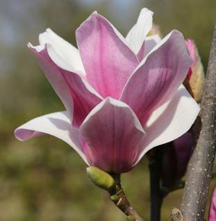 Großblütige Säulen Magnolie Satisfaction 80-100cm - Magnolia