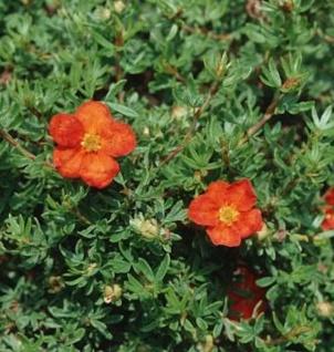 10x Fünffingerstrauch Marian Red Robin - Potentilla fruticosa