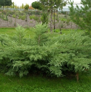 Grauer Pfitzerwacholder Hetzii 40-60cm - Juniperus media