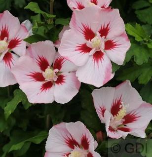 Hochstamm Rosen Eibisch Hamabo 80-100cm - Hibiscus