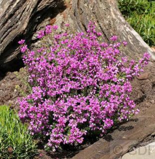 10x Grauheide Lila Fee - Erica cinerea