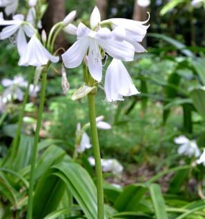 Garten Hakenlilie - Crinum powellii