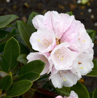 Rhododendron Silbervelours 40-50cm - Rhododendron pachysanthum