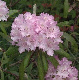 Smirnow Rhododendron Silberfeil 30-40cm - Rhododendron smirnowii