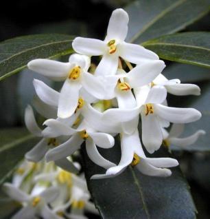 Frühlingsduftblüte 20-30cm - Osmanthus burkwoodii