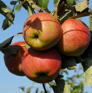 Apfelbaum Goldprinz 60-80cm - guter Herbstapfel