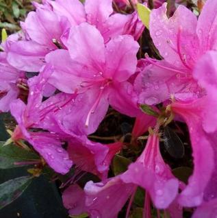 Kriechende Immergrüne Zwerg Azalee Iguazu 25-30cm - Rhododendron nakaharai