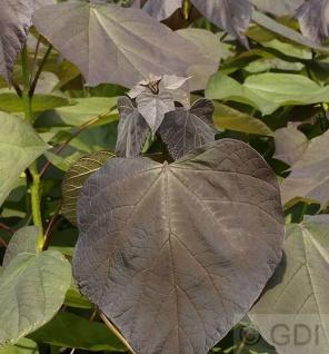 Trompetenbaum Purpurea 80-100cm - Catalpa erubescens