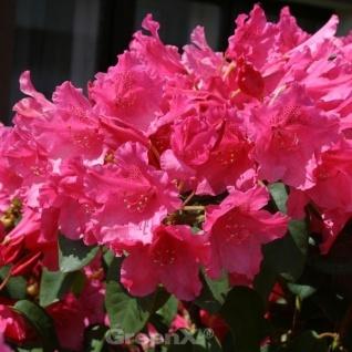 INKARHO - Rhododendron August Lamken 25-30cm - Rhododendron williamsianum - Alpenrose